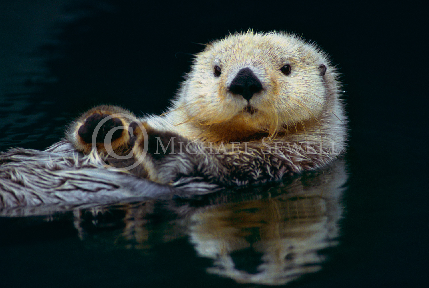 SEWELL_OTTER (1)